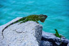 Wildlife And Nature, Marine Iguana. Animals Lizard Iguana. Green Iguana Also Known As The American Iguana.