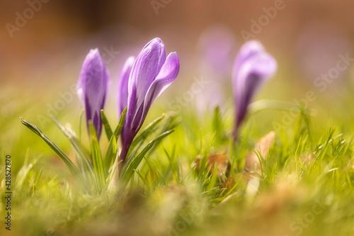 spring crocus flowers - fototapety na wymiar