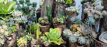 Variety Of Cactus In The Garden, Arrangement Of Beautiful Succulent Plants On Wooden Logs For Decoration