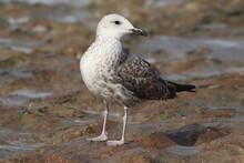 Closeup Of A Great Black-backed Gull (Larus Marinus) Juvenile