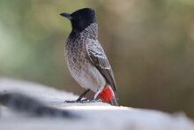 Selective Focus Shot Of A Red-vented Bulbul Outdoors