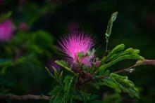 Beautiful Flower Of Purple Thistle. Pink Flowers Of Burdock. Burdock Thorny Flower Close-up. Flowering Thistle Or Milk Thistle. Herbaceous Plants