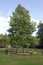 Princess Diana Memorial Tree