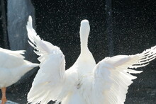 White Geese Enjoyed A Bath And Spreading Her Wings