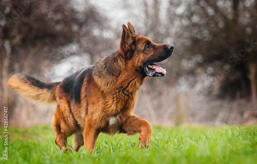 adult dog german shepherd running - fototapety na wymiar