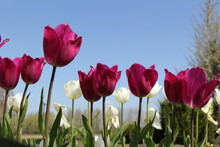 A Row Beautiful Purple Tulips And White Tulips And A Blue Sky In The Background In A Flower Garden In Holland In Springtime
