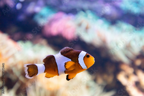 Fotografia, Obraz Clownfish underwater. Fish and coral reef in the ocean.