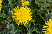Head Of A Dandelion In Full Bloom Next To Unopened Buds