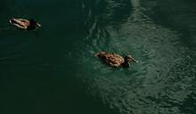 Two Ducks Swim In The Lake