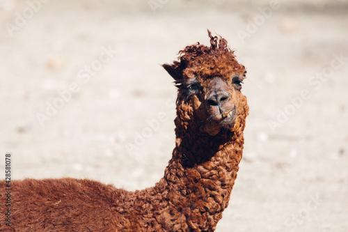 Fototapeta premium Alpaca lying portrait