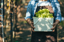 Farmar Harvest Grape In Vineyard