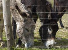 Couple Of Friendly Donkeys Enjoying Grazing Their Springtime Pasture