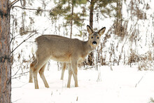 Two Fawns On The Background Of Trees
