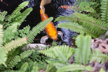 Orange Koi (nishikigoi) Or Brocaded Carp Swim In A Decorative Koi Pond Surrounded By Ferns