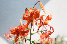 Orange Lilium Martagon (lilies) Flowers With Prominent Black Sports On A Bi-coloured Grey And White Background - Landscape Orientation