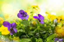 Flowering Purple And Yellow Pansies In The Garden. Summer Nature Landscape With Fresh Pansy Flowers Outdoor.