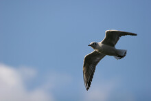 Young Seagull In Flight
