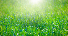A Natural Spring Garden Background Of Fresh Green Grass (wheat Field) With A Bright Sun Rays