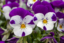 Close-up Of Two Delicate Purple Pansies Standing Together.