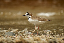 Charadrius Collaris - Collared Plover Small Shorebird In The Plover Family, Charadriidae, Lives Along Coasts And Riverbanks Of The Tropical To Temperate Americas, From Mexico To Chile And Argentina