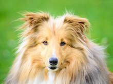 Dog Shetland Zibeline, Colour Portrait