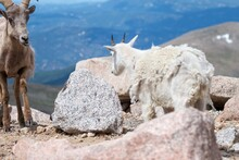 Scruffy Bighorn Ram Sticks His Tongue Out At Shedding Mountain Goat