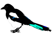 Illustration Of A Eurasian Magpie In A Transparent Background