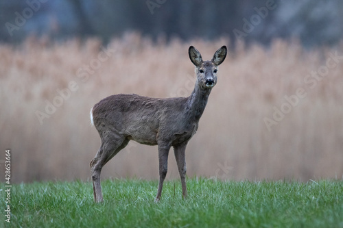Fototapeta Roe deer on a meadow