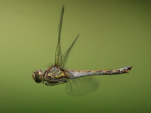 Macro Of A Beautiful Dragonfly Beating Its Wings On Green Background