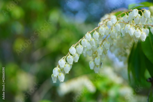 Fotografiet Flower bells of the Pieris Japonica bush, also known as Andromeda and Fetterbush