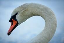 Mute Swan Portrait Scotland Wildlife