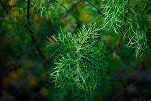 Young Large And Juicy Greens Of Dill In A Garden Bed On A Sunny Day On A Blurred Background