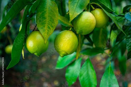 Fototapeta Fresh green lemon limes on tree in organic garden