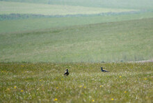 A Pair Of Spring Curlews On Salisbury Plain Military Exercise Grounds Wiltshire