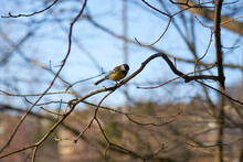 A Chickadee On A Tree Branch With A Blurred Background
