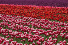 Tulip Field At Skagit Valley In Washington State Showing Rows Of Red And Pink Tulips In A Diagonal Line.