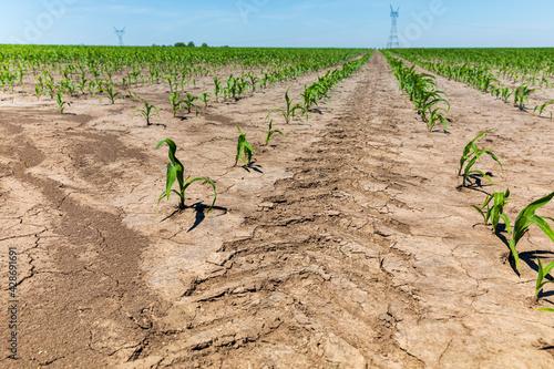 Fotografija Tractor tire tread mark between rows of corn in farm field