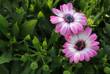Background Of Two Pink And White African Daisies