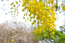Yellow Flowers,Cassia Fistula Flowers Bloom In Abundance And Are Beautiful In The Early Summer.