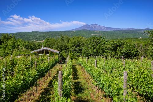 Fotografia Sicilian vineyards with Etna volcano eruption at background in Sicily, Italy