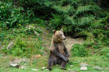 Wild  Brown Bear (Ursus Arctos) In The Forest.