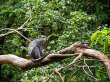 Lake Maynara, Tanzania, Africa - March 2, 2020: Blue Monkey Sitting On Tree Branch