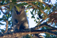 A Vervet Monkey Isolated In A Tree