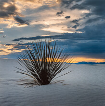 Desert Plant. Yucca  And Sunset Clouds At White Sands National Park American National Park New Mexico USA. White Sands Missile Range. Tularosa Basin. White Sand Dunes Composed Of Gypsum Cryst
