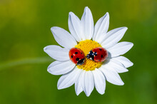 Spring Messenger, Ladybug On Flowering Branch