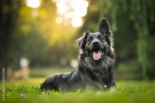 german shepherd dog on grass - fototapety na wymiar