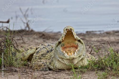 Foto Nile Crocodile (Crocodylus niloticus)