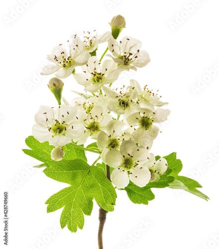 Stampa su Tela Hawthorn  flowers