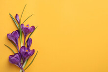 Beautiful Purple Crocus Flowers On Yellow Background, Flat Lay. Space For Text