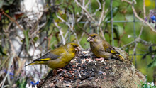 Two Greenfinch Birds Perched On A Bark